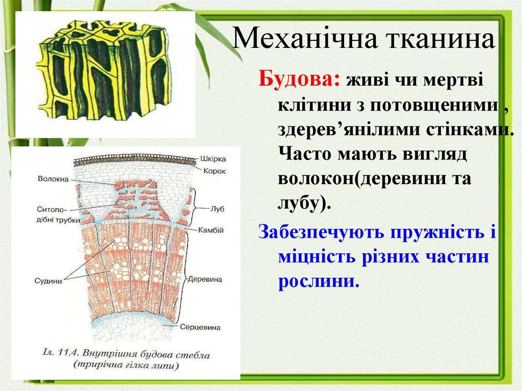 Механічна тканина рослини