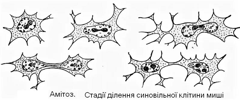Механізм і стадії амітозу