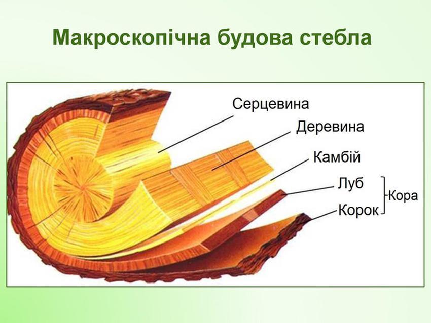 Мікроскопічна будова стебла