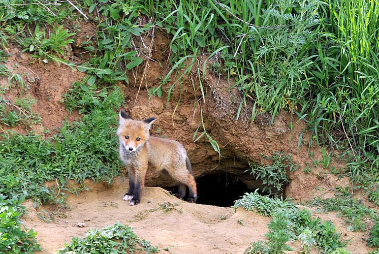 Місце де живе лисиця
