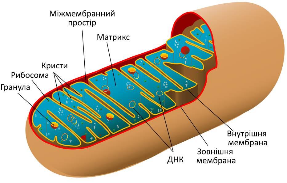 Мітохондрія - схема