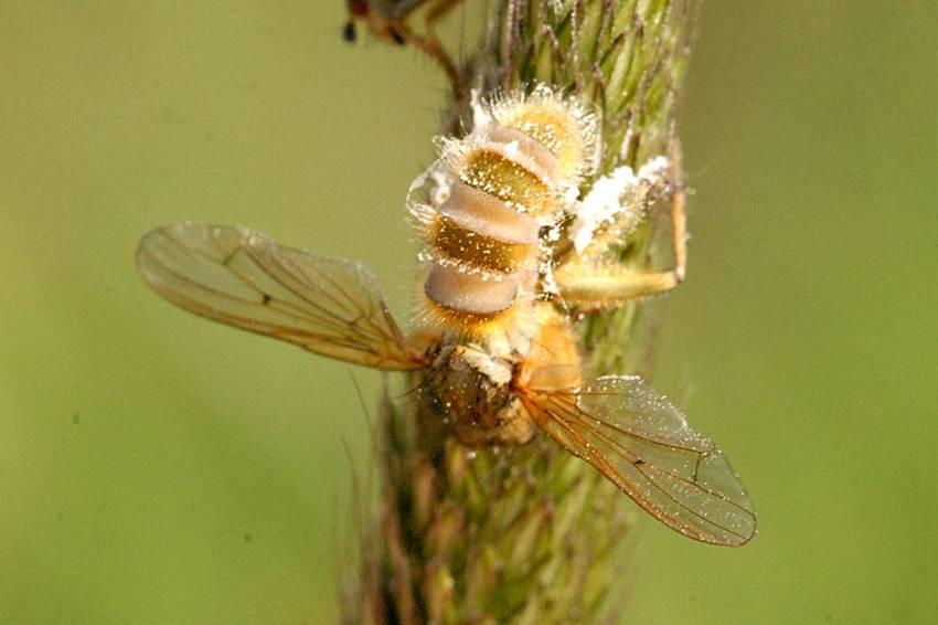 Муха вражена паразитичним грибом