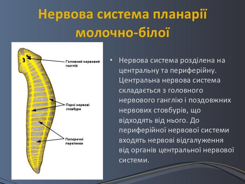 Нервова система білої планарії