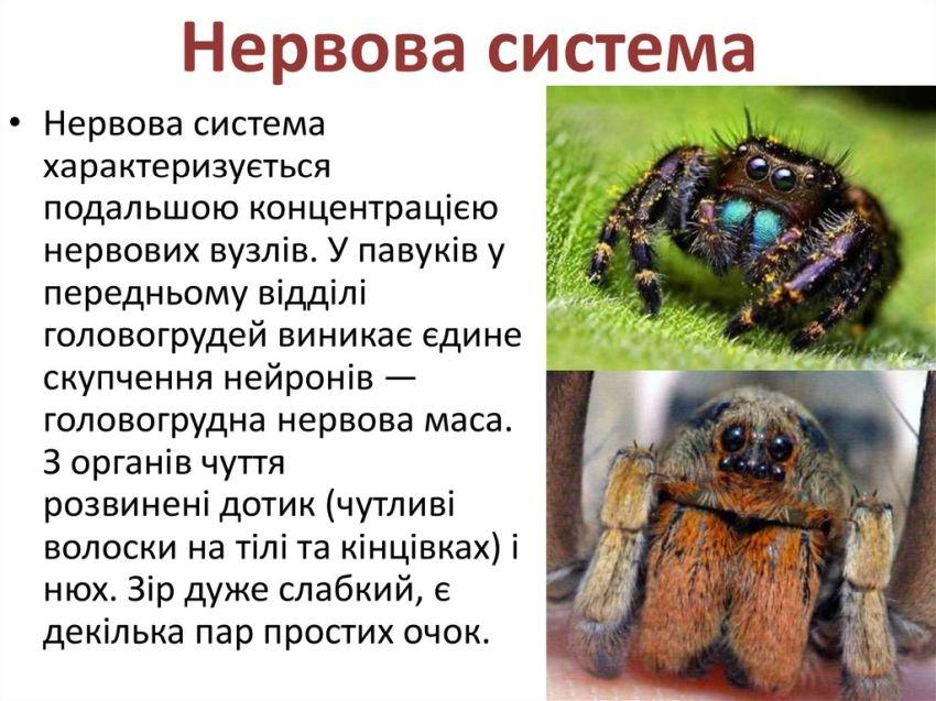 Нервова система павукоподібних35
