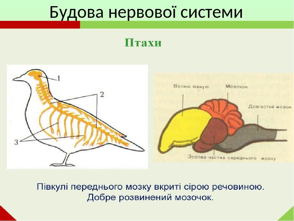 Нервова система птахів