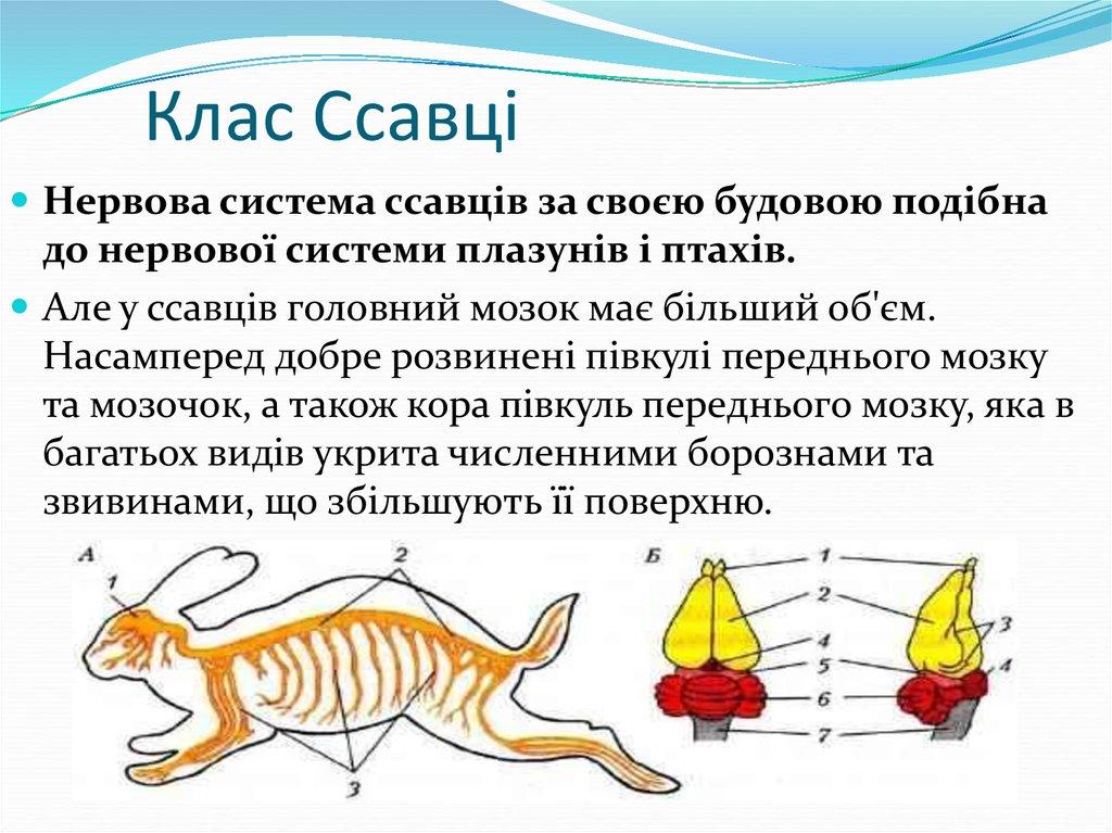 Нервова система ссавців - характеристика