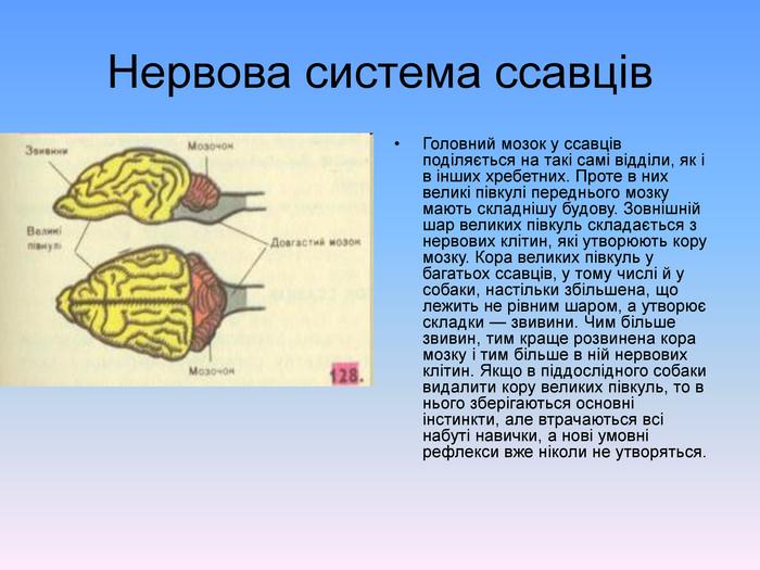 Нервова система ссавців - опис