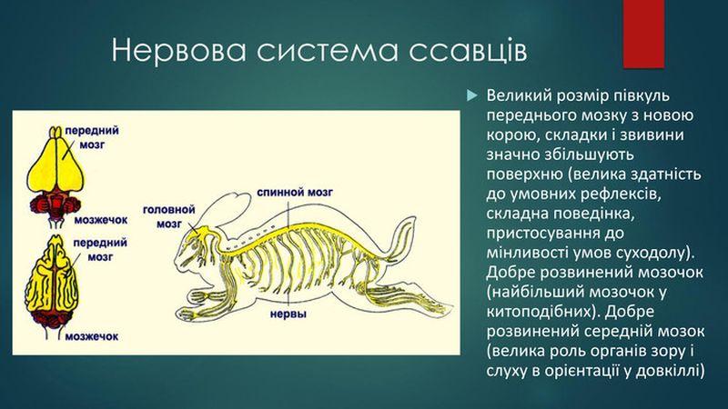 Нервова система ссавців2