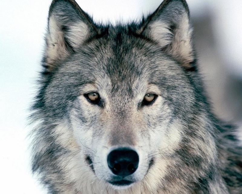 Опис вовка