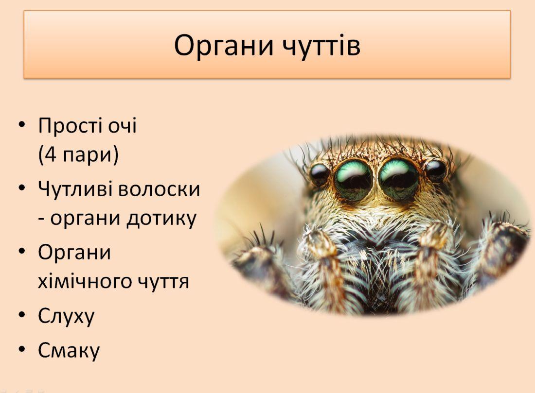 Органи чуттів у павукоподібних