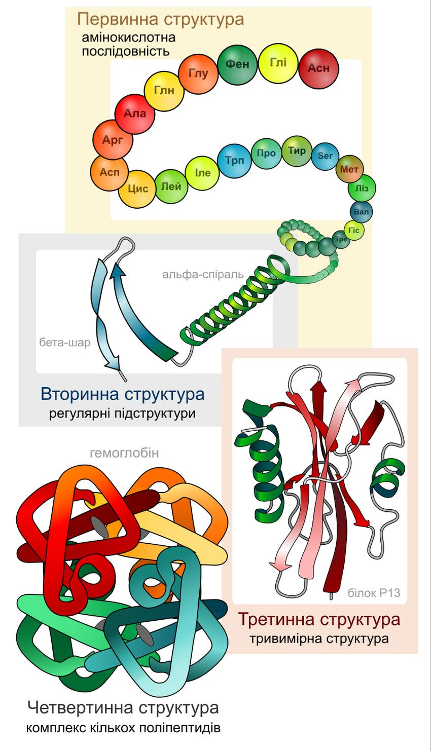 Основні рівні структурної організації білків