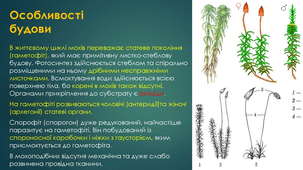 Особливості будови мохоподібних