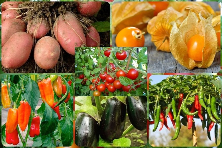 Особливості пасльонових