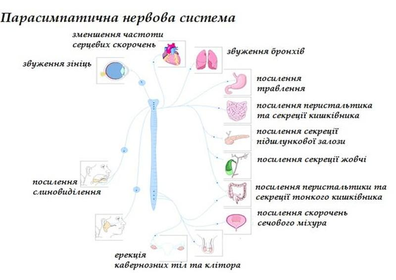 Парасимпатична нервова система