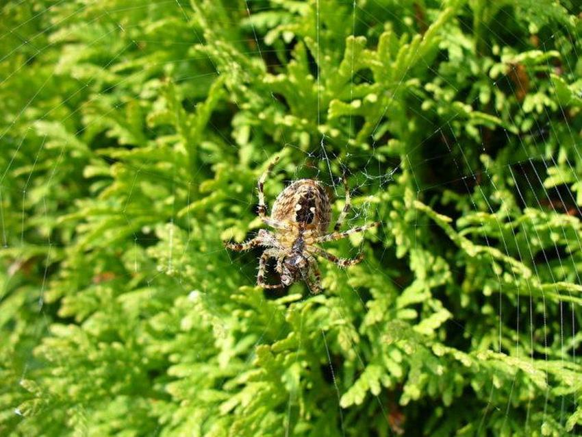 Павук-хрестовик - фото