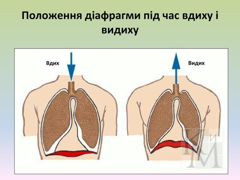 Положення діафрагми під час дихання
