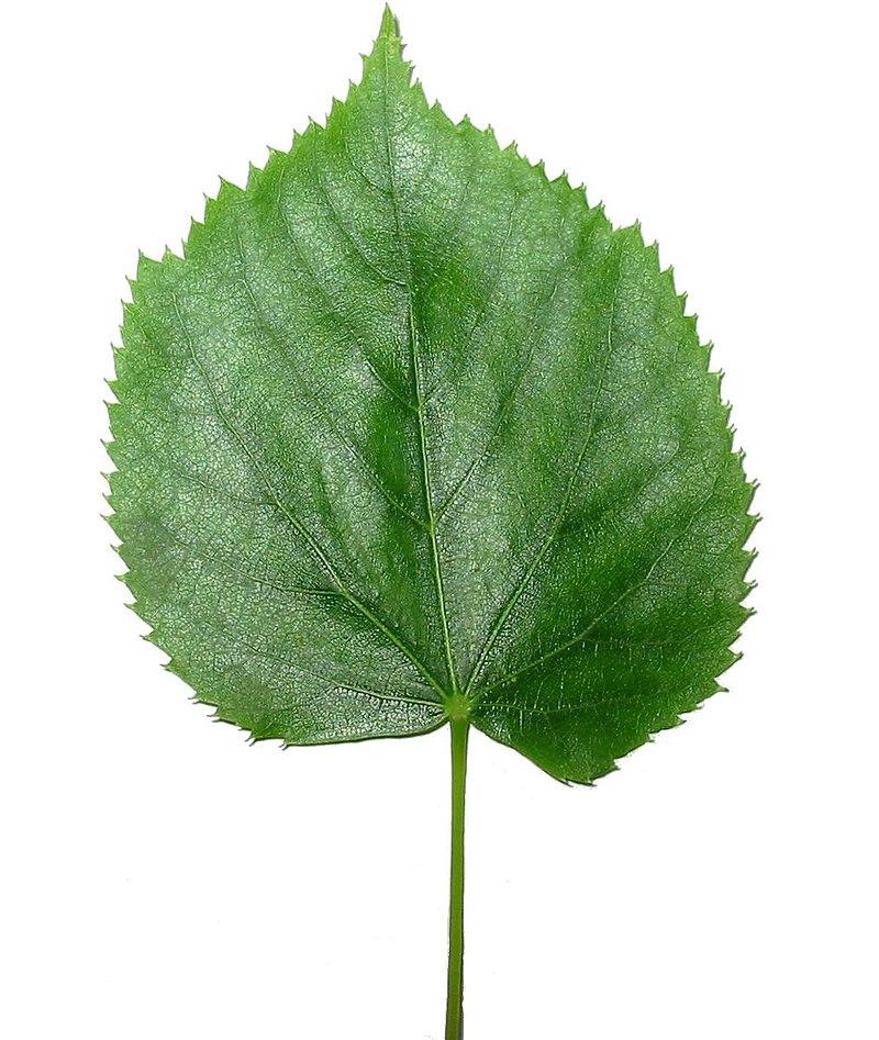 Простий листок липи