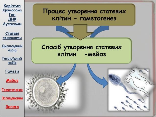 Процес утворення статевих клітин - гаметозенез