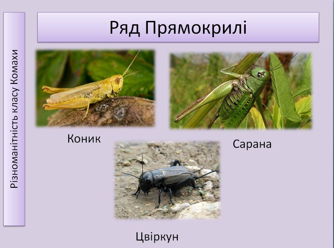 Приклад прямокрилих комах