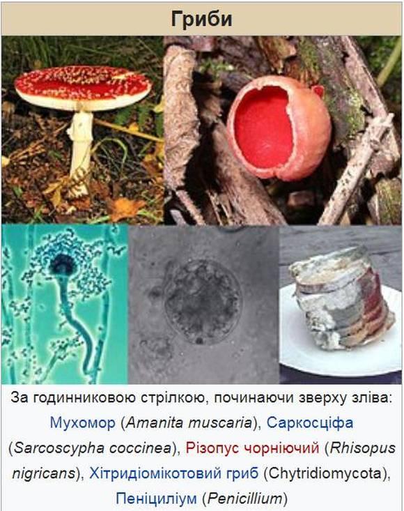 Приклади грибів