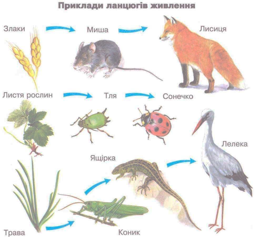 Приклади ланцюгів живлення