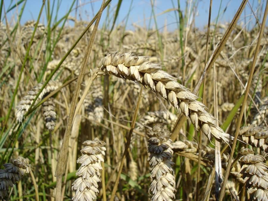Пшениця - приклад однодольної рослини