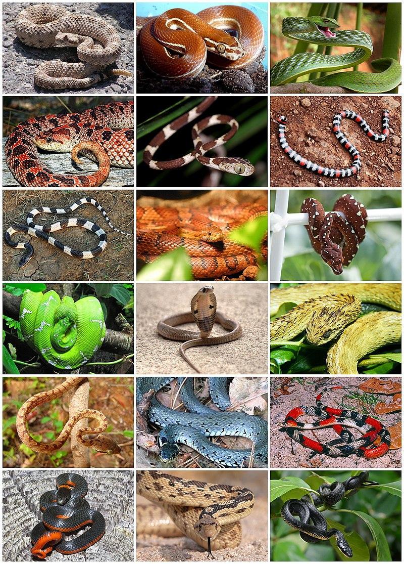 Різномаїття змій