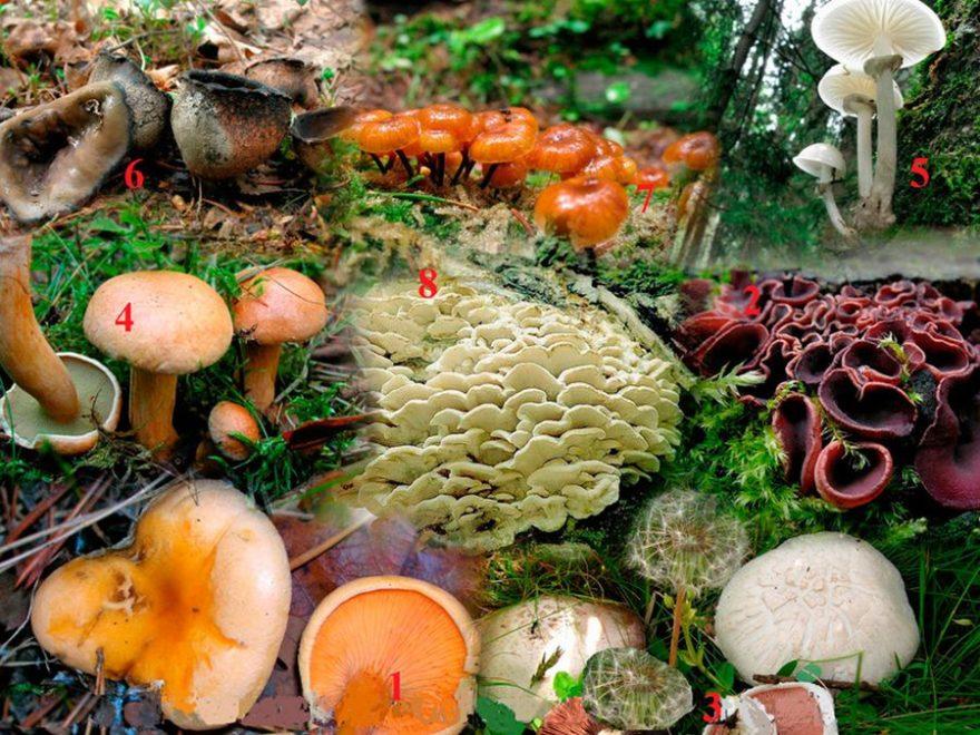 Різновиди грибів