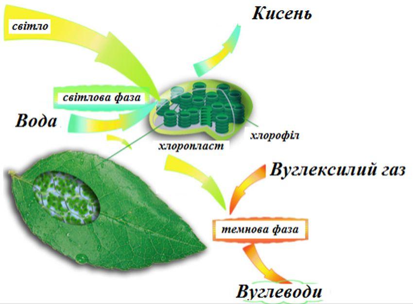 Роль фотосинтезу