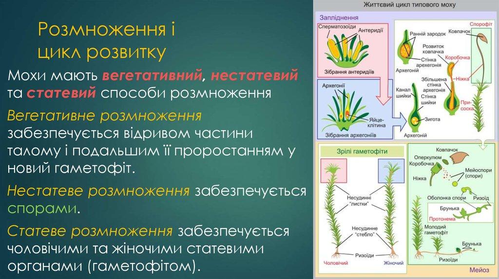 Розмноження і розвиток мохоподібних