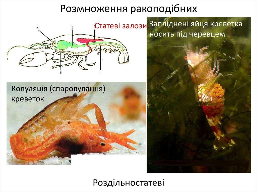 Розмноження ракоподібних