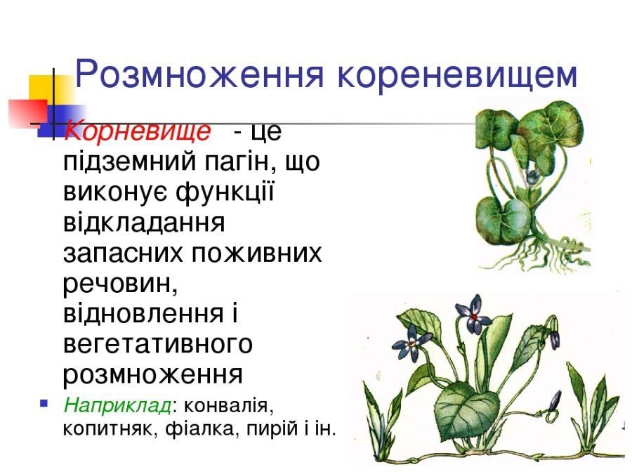 Розмноження рослини кореневищем