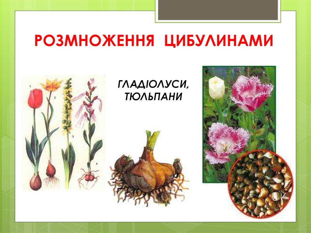 Розмноження рослини цибулинами