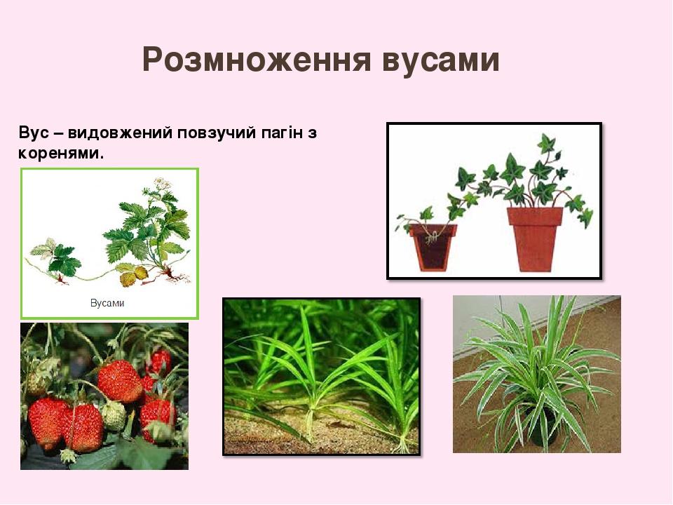 Розмноження рослини вусами