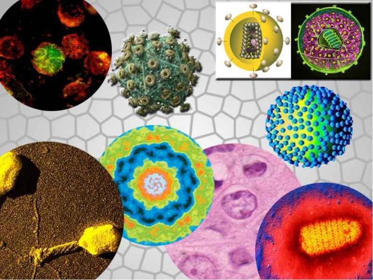 Розмноження вірусів