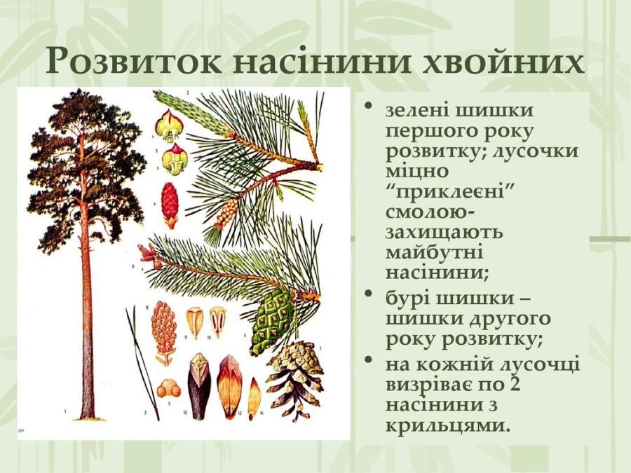 Розвиток насінини хвойних рослин