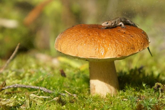 Шапинкові гриби
