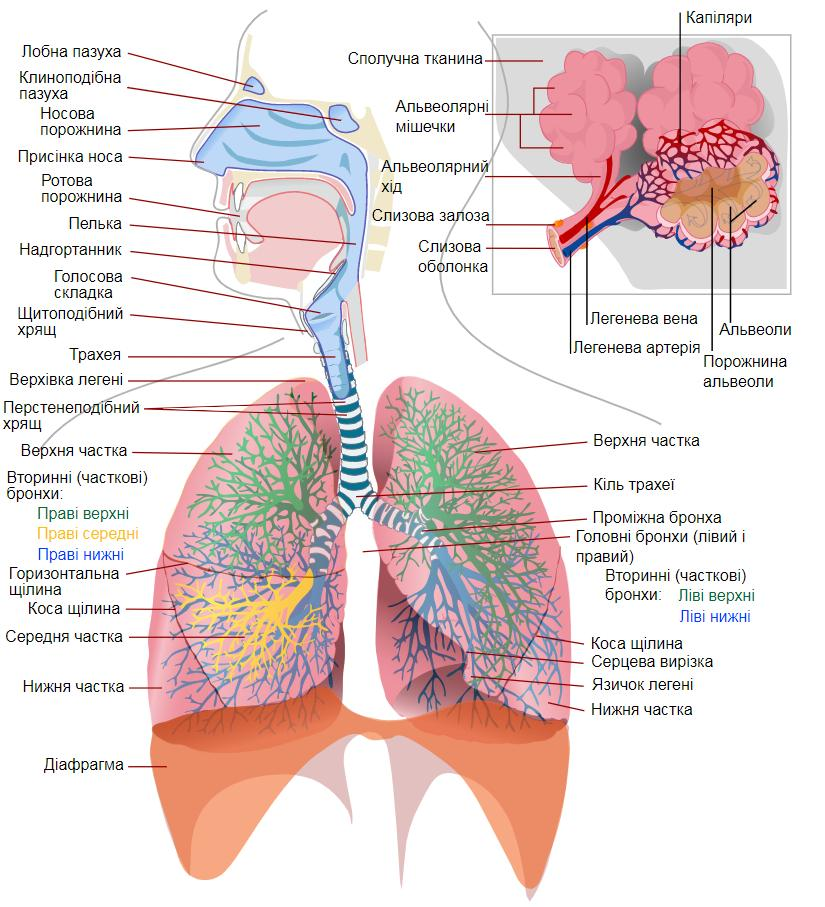 Схема дихальної системи людини