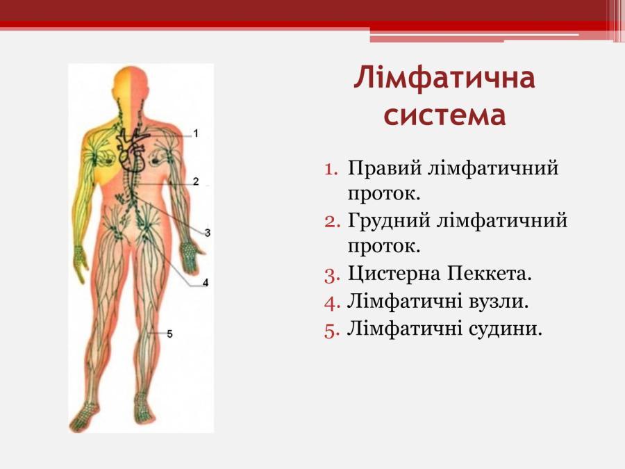 Схема лімфатичної системи