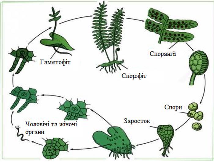 Схема розмноження папоротей