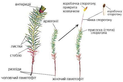 Схема ризоїда