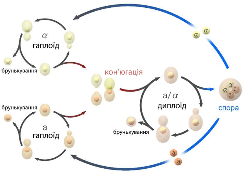 Схема життєвого циклу пивних дріжджів