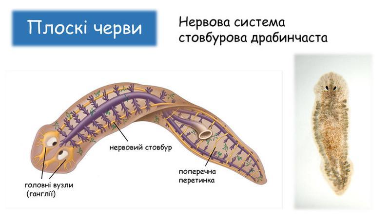 Схематична будова плоских червей