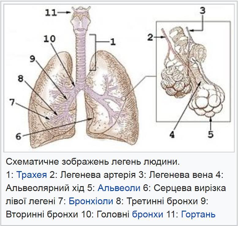 Схематичне зображення легень людини