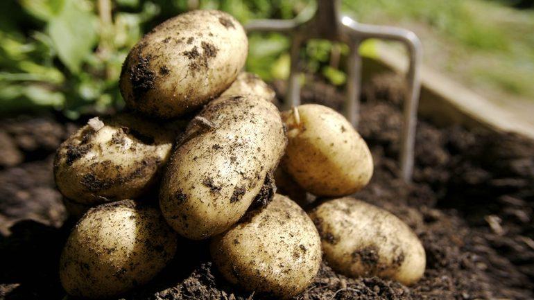 Сімейство пасльонових - картопля