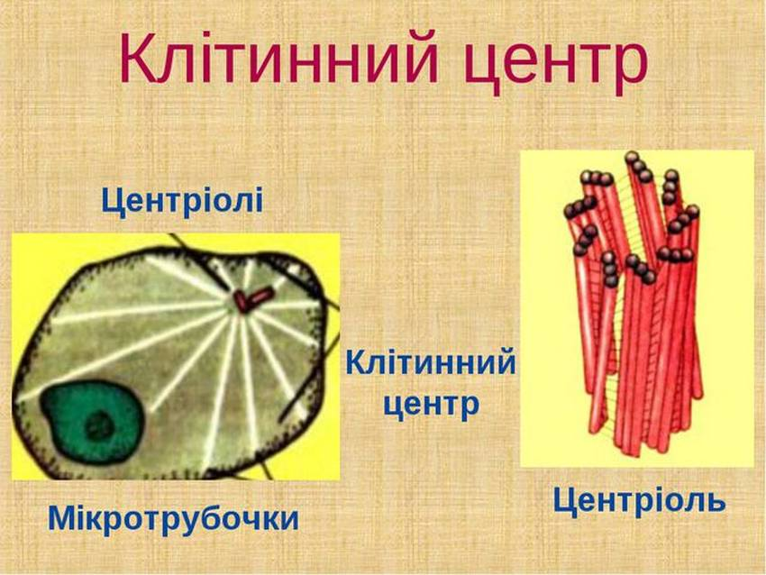 Склад клітинного центру