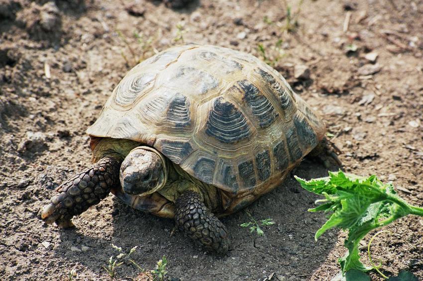 Степова черепаха