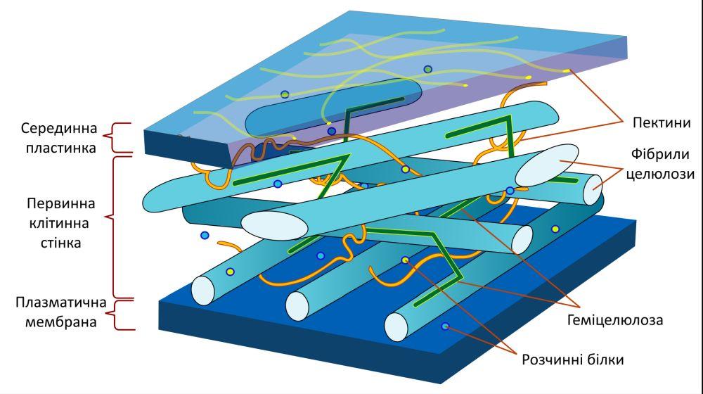 Структура клітинної стінки рослинної клітини