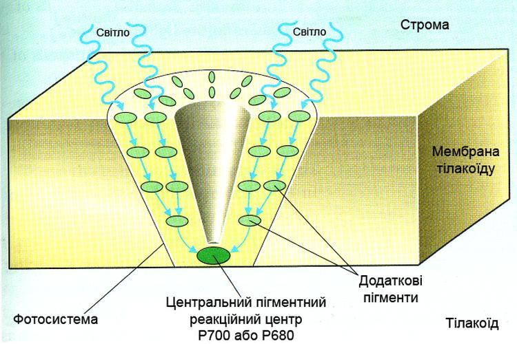Світлозбиральний кластер фотосинтетичних пігментів на поверхні тилакоїдної мембрани хлоропластів