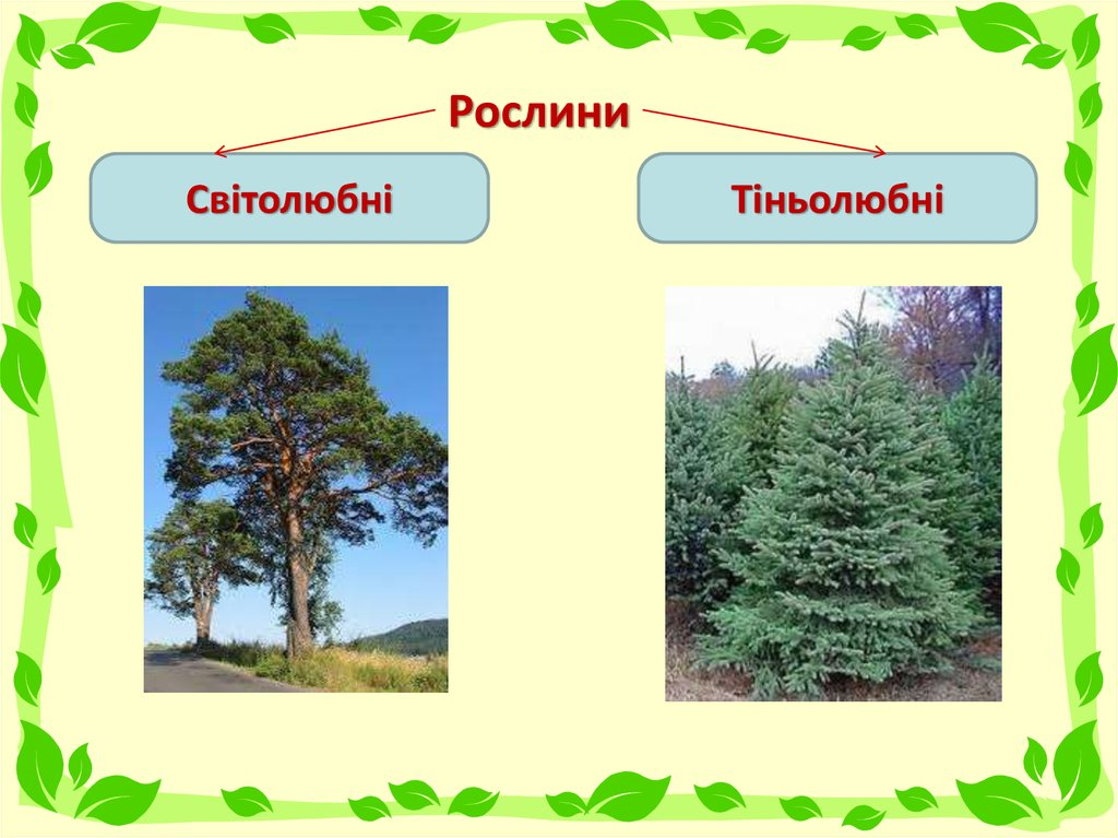 Світолюбні і тіньолюбні рослини - приклад